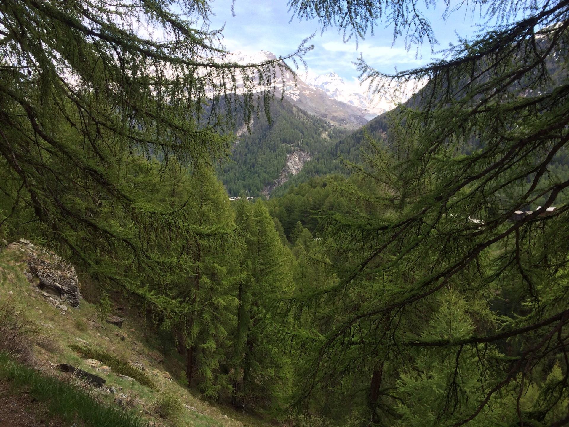Frühlingsgrüner Arvenwald